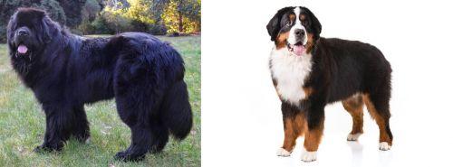 Newfoundland Dog vs Bernese Mountain Dog