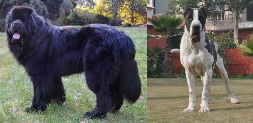Newfoundland Dog vs Bully Kutta