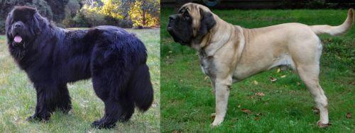 Newfoundland Dog vs English Mastiff