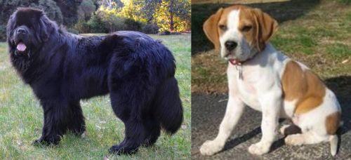 Newfoundland Dog vs Francais Blanc et Orange