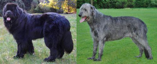 Newfoundland Dog vs Irish Wolfhound