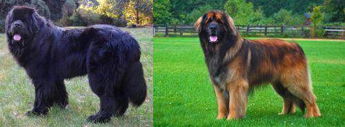 Newfoundland Dog vs Leonberger