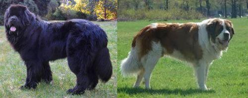 Newfoundland Dog vs Moscow Watchdog