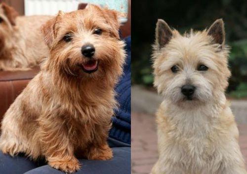 Norfolk Terrier vs Cairn Terrier
