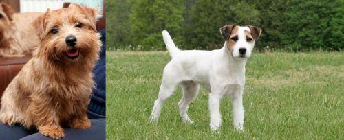 Norfolk Terrier vs Jack Russell Terrier
