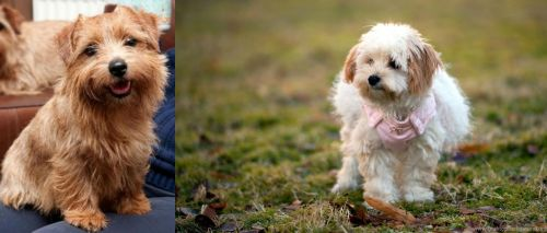 Norfolk Terrier vs West Highland White Terrier