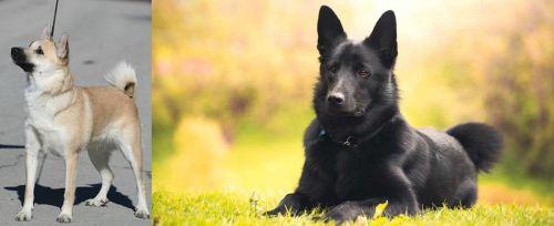 Norwegian Buhund vs Black Norwegian Elkhound