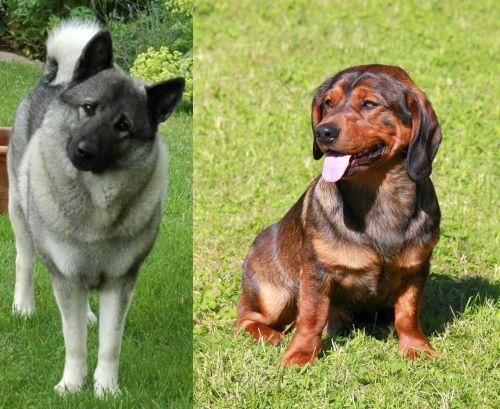 Norwegian Elkhound vs Alpine Dachsbracke