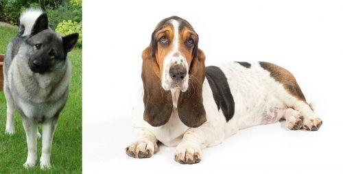 Norwegian Elkhound vs Basset Hound