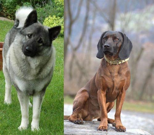 Norwegian Elkhound vs Bavarian Mountain Hound
