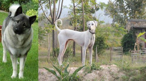 Norwegian Elkhound vs Chippiparai