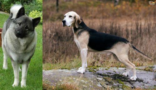 Norwegian Elkhound vs Dunker