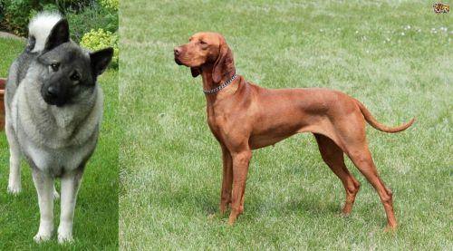 Norwegian Elkhound vs Hungarian Vizsla