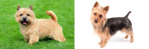Norwich Terrier vs Australian Terrier