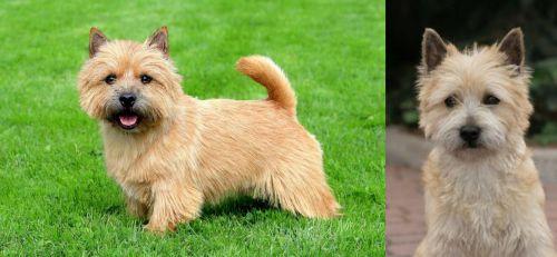 Norwich Terrier vs Cairn Terrier