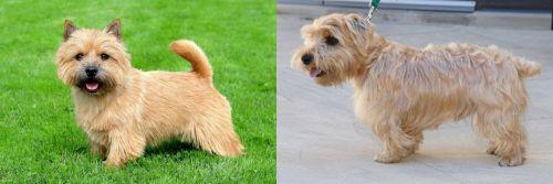 Norwich Terrier vs Lucas Terrier