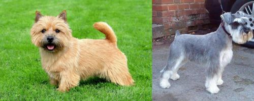 Norwich Terrier vs Miniature Schnauzer