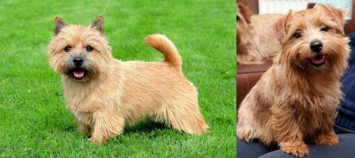 Norwich Terrier vs Norfolk Terrier