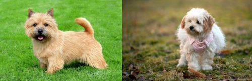 Norwich Terrier vs West Highland White Terrier