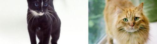 Ojos Azules vs Ginger Tabby