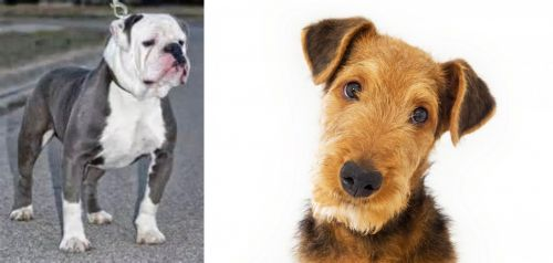 Old English Bulldog vs Airedale Terrier