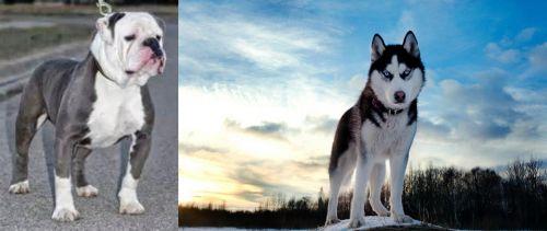 Old English Bulldog vs Alaskan Husky