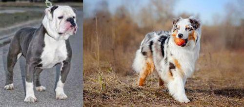 Old English Bulldog vs Australian Shepherd