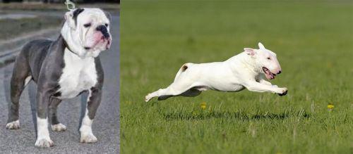 Old English Bulldog vs Bull Terrier