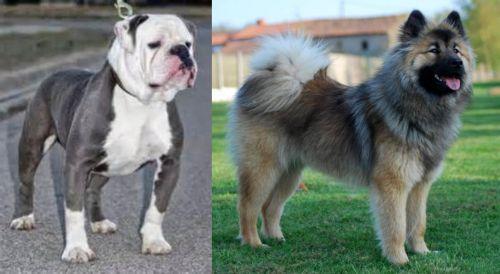 Old English Bulldog vs Eurasier