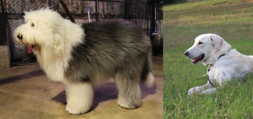 Old English Sheepdog vs Akbash Dog
