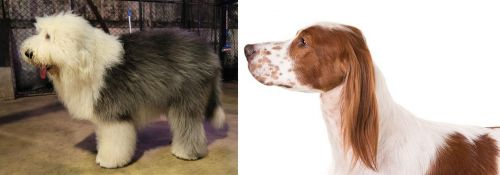 Old English Sheepdog vs Irish Red and White Setter