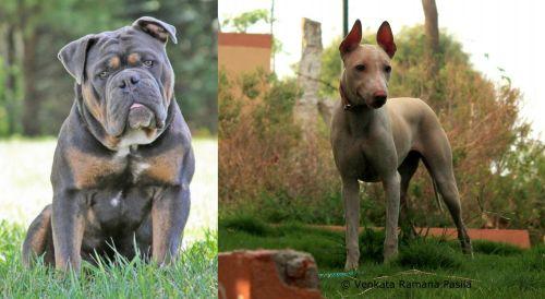 Olde English Bulldogge vs Jonangi