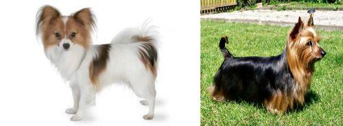 Papillon vs Australian Silky Terrier