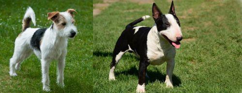 Parson Russell Terrier vs Bull Terrier Miniature