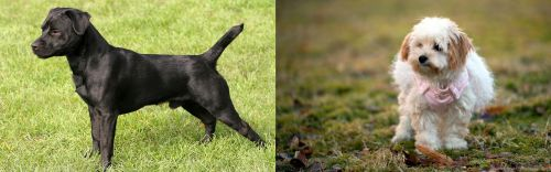 Patterdale Terrier vs West Highland White Terrier