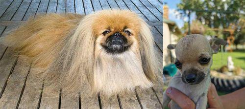 Pekingese vs Chihuahua
