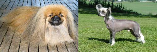 Pekingese vs Chinese Crested Dog