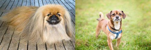Pekingese vs Chug