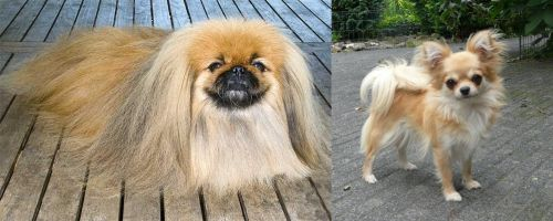 Pekingese vs Long Haired Chihuahua