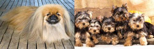 Pekingese vs Yorkshire Terrier