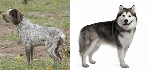 Perdiguero de Burgos vs Alaskan Malamute