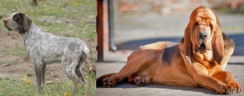 Perdiguero de Burgos vs Bloodhound
