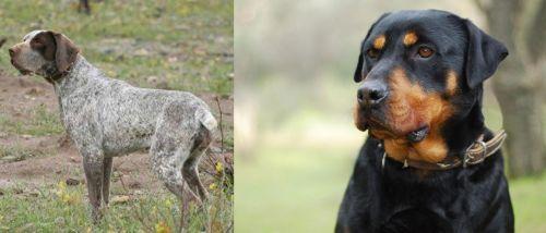 Perdiguero de Burgos vs Rottweiler