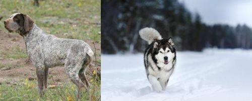 Perdiguero de Burgos vs Siberian Husky