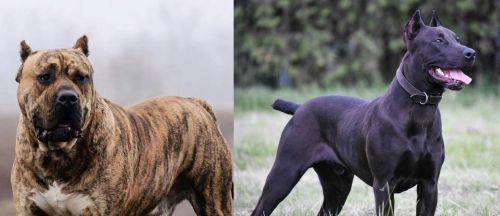 Perro de Presa Canario vs Canis Panther