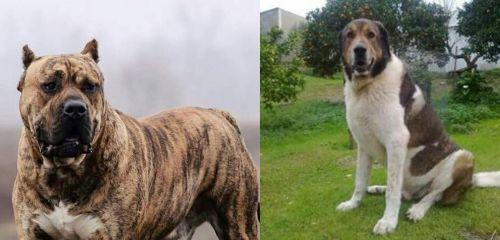 Perro de Presa Canario vs Cao de Gado Transmontano