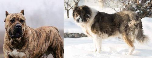 Perro de Presa Canario vs Caucasian Shepherd