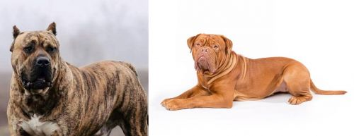 Perro de Presa Canario vs Dogue De Bordeaux