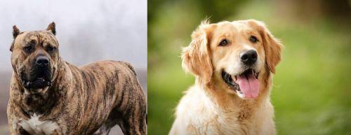 Perro de Presa Canario vs Golden Retriever