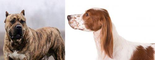 Perro de Presa Canario vs Irish Red and White Setter